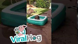 Emu in the Pool     ViralHog