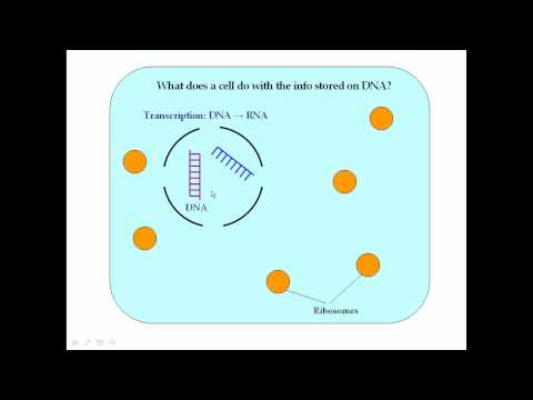 Protein Synthesis Pt 1 (Transcription)