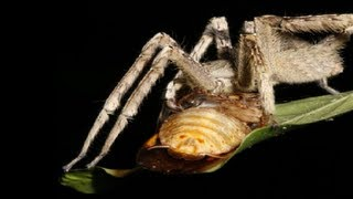 Spider vs Penis (Priapism) - Smarter Every Day 98