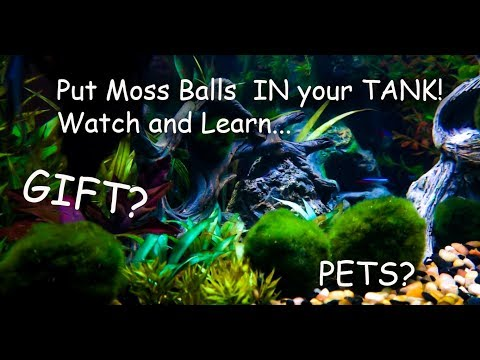 Marimo Moss Balls unboxing and review For Your Aquarium or Aquatic Habitat Plants