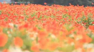 English Countryside -- Flowers In Kent -- Poppy Field