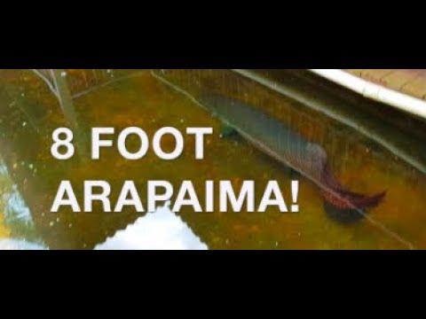8 FOOT ARAPAIMAS - Wildlife Park, Langkawi