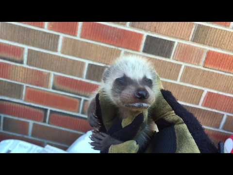 What Do Baby Raccoons Sound Like? - AAA Affordable Wildlife Control