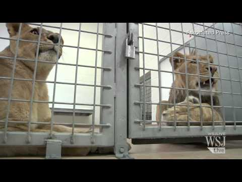 Denver Zoo Lions Are Indoor Cats During Cold Snap