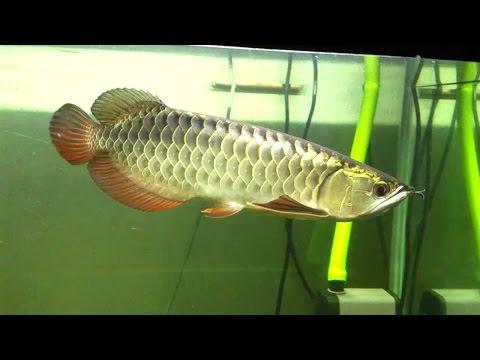 Aquarium Fish   Xback Arowana Fish