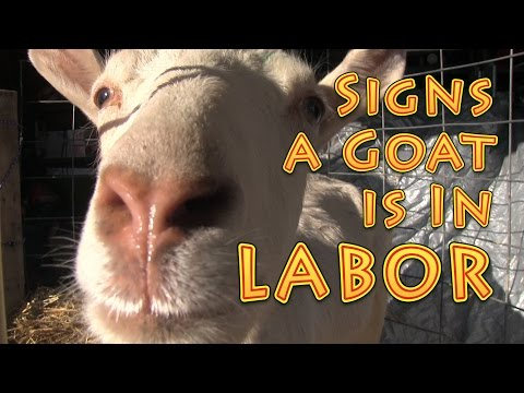 Signs  A Goat Is In Labor