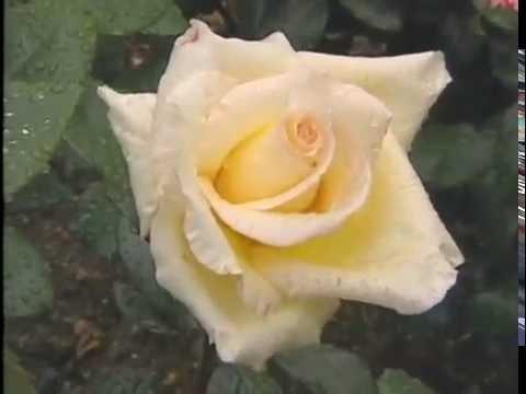 Rose Pioneer: HelenSchoen