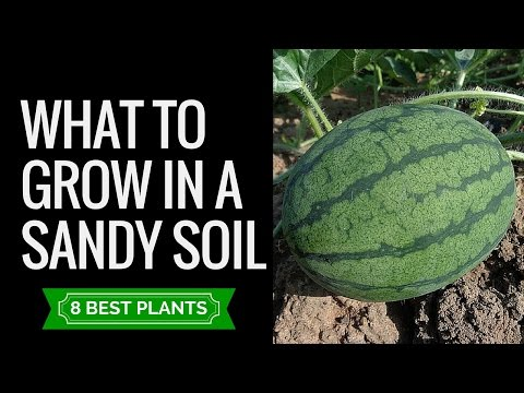 Sandy soil plants and veggies | 8 plants that are suitable to grow in sandy soil