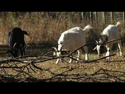 Using Goats to Get Rid of Poison Ivy