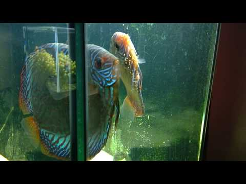 Discus spawning/laying eggs