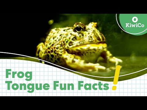 How Does A Frog's Tongue Work? | KiwiCo Answers Kids' Science Questions