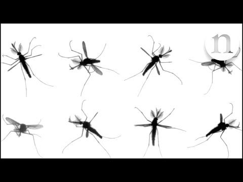 The mystery of mosquito flight