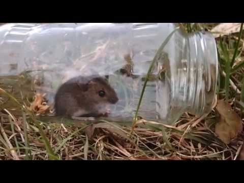 Releasing a house mouse into the wild