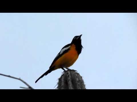 Aruba Birds - Troupial Aruba Arikok National Park Nov 27 2011