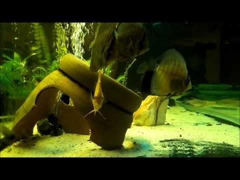 UK. Discus fish size from 6 cm to 9.5 cm / PL. Ryby paletki ( dyskowce ) wielkosc od 6 cm do 9.5 cm