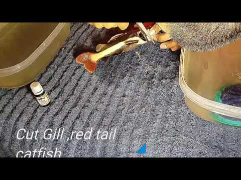 Cirugía,red tail cat fish (cut gill) pez bagre brasileño de cola roja