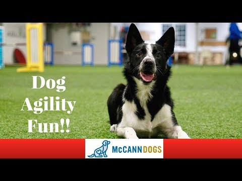 Beginner Dog Agility Competitions- Bee-Line's First Dog Agility Fun Match