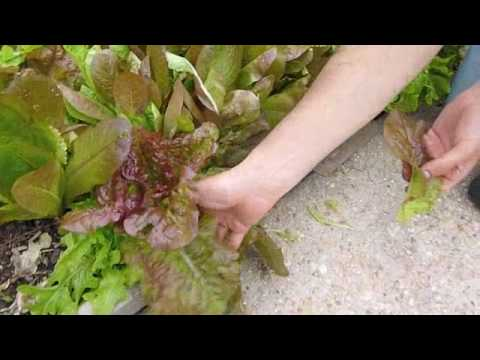 How to Pick Lettuce