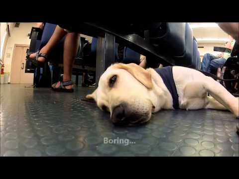 Puppy Guide Dog In Training Point Of View. A Day In Angies' life