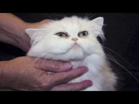 How to Clean a Teacup Persians Eyes - CatsCreation's Grooming Tips!