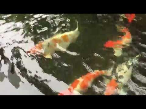Clean & Clear Koi Fish Pond - Part 02