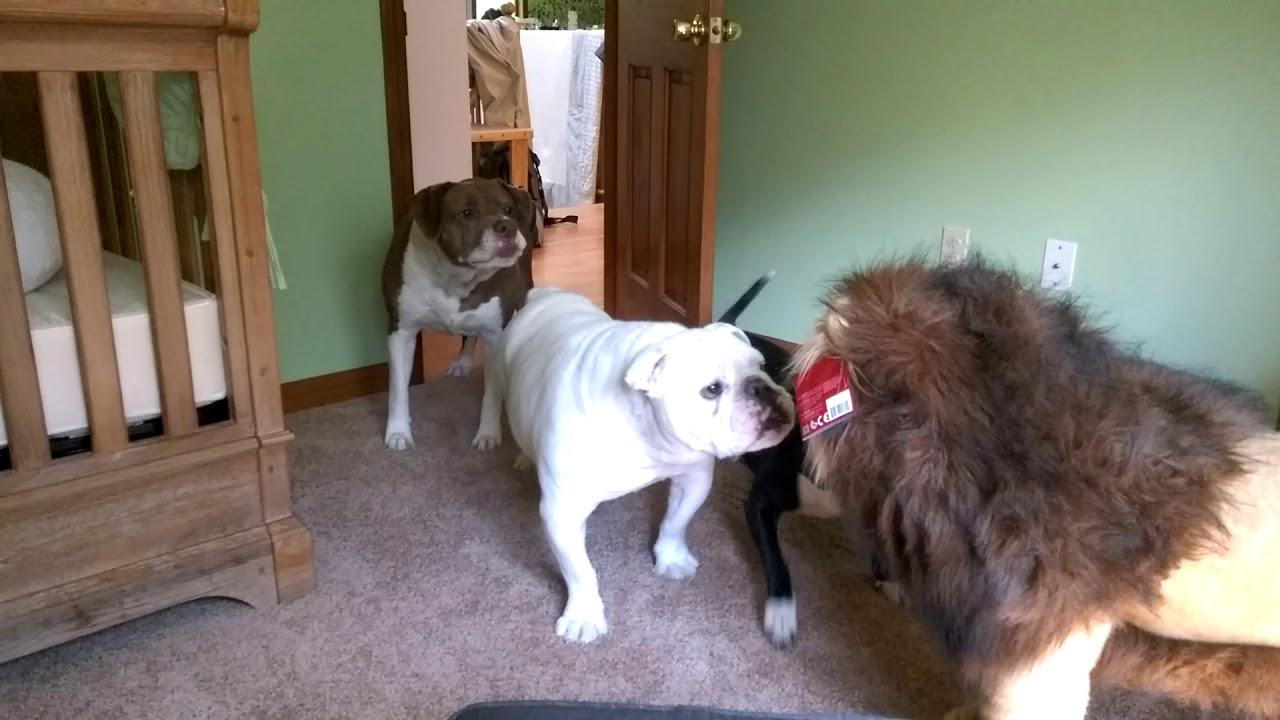 Brave English bulldog Sir Wellington fights lion. Super funny!