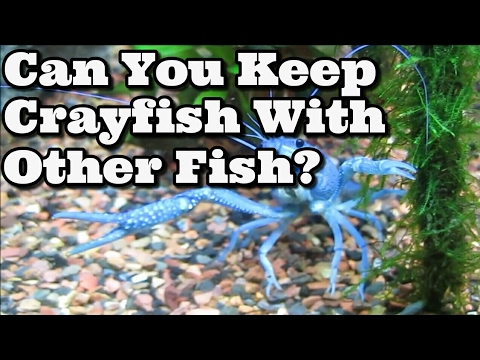 Can You Keep Crayfish With Other Fish? + Advice If You Do