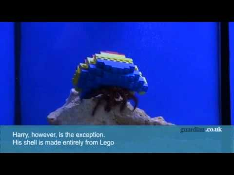 Harry the hermit crab comes out in his Lego shell - video - Life and style - guardian.co.uk.flv