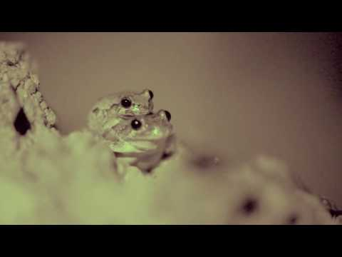 Male Gray Tree Frog Attracts Female