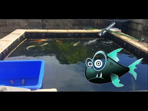 Koi pond Filter Clean out Pond maintenance Carp 12000 Litre pond