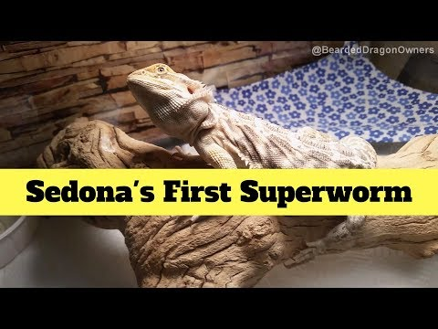 Bearded Dragon Owners // Sedona's First Superworm.