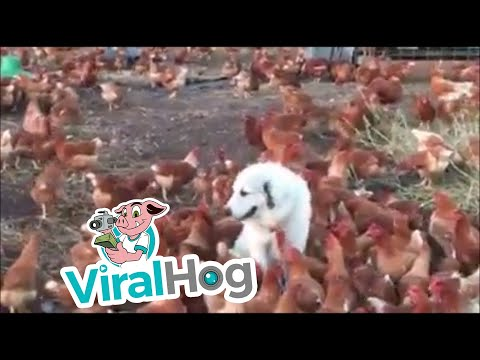 Just a Dog and His Hens || ViralHog