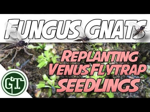 Replanting Baby Venus Flytraps & Killing Fungus Gnats