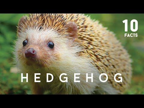 10 Facts About Hedgehog