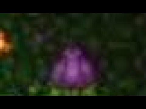 A PLANTERA BULB ON MY CHLOROPHYTE FARM
