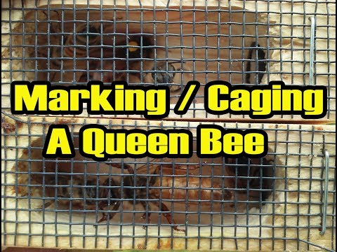 How To Capture/Cage A Queen Bee