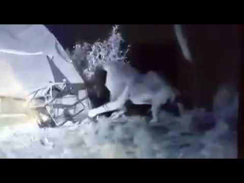 Lion tries to bring down a tent with terrified campers