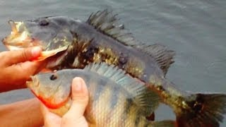 Cichlid Double! (15:34)