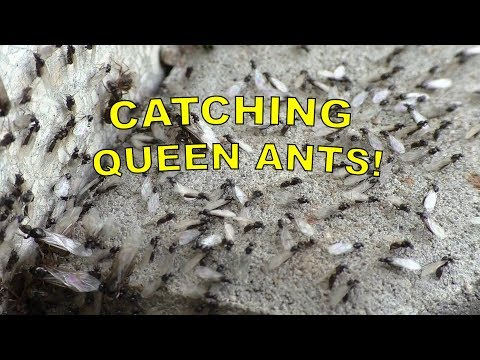 CATCHING QUEEN ANTS! | Searching for Queen Ants in my back Garden!