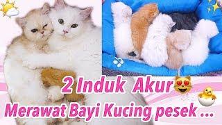 REBUTAN 😅 2 INDUK RUKUN MERAWAT BAYI KUCING SECARA BERSAMA - VIDEO KUCING LUCU [ C CAT FAMILY ]