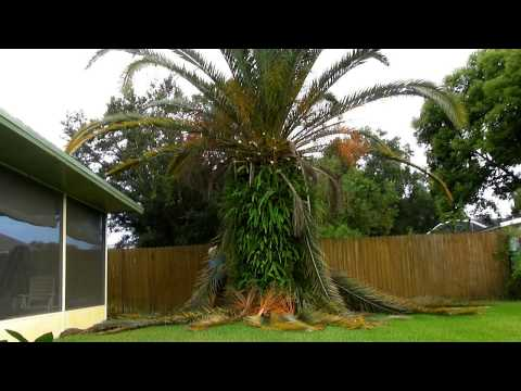 Trimming a date palm timelapse and shoutout