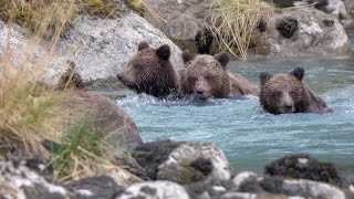Haines Alaska; Grizzlies, Brown Bears, many many playful cubs!