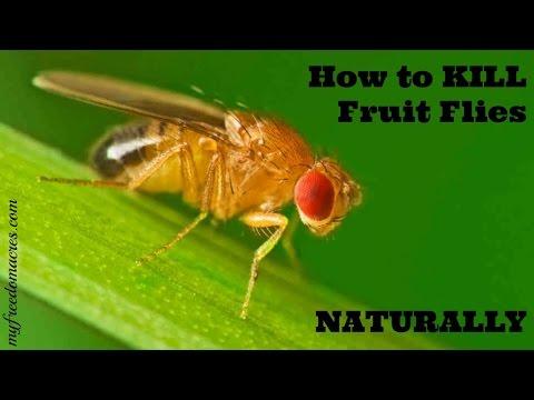 Kill Fruit Flies Naturally