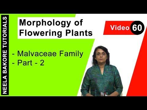 Morphology of Flowering Plants - Malvaceae Family - Part - 2