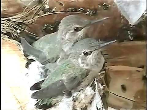 Amazing Baby Hummingbirds