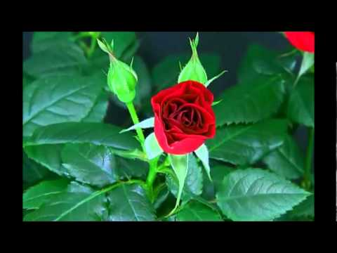 Blooming Red Rose Timelapse