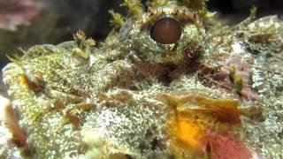 Download Scorpion Fish Extreme Closeup - Venomous Fish - Deadly Scorpion Fish Video