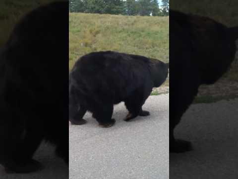 Walking my pet black bear at Bear Country lol