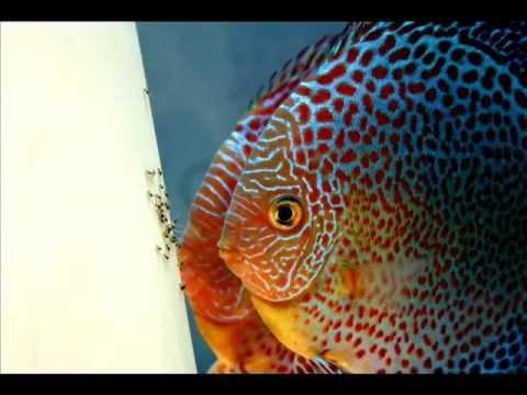 ** Discus Breeding Pair Penang Eruption   Discus Fish  **