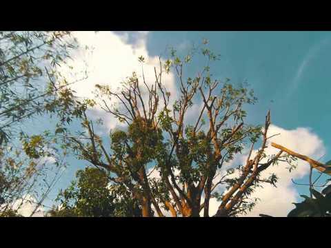 Mango Tree Trimming Time Lapse